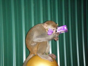 One of the wild monkeys tearing into a juice box.