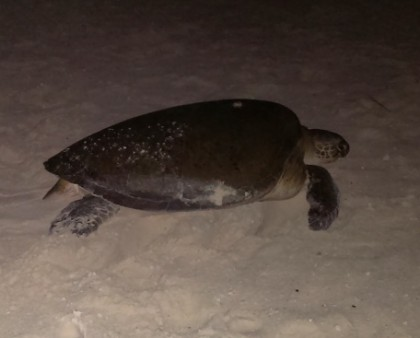One of about ten sea turtles we saw during multiple walks on the beach after the sun went down. Such a cool experience. Photo courtesy of: Dancin' Dirk.